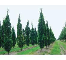 Саженцы деревьев и кустарников оптом - Саженцы, растения в Ялте