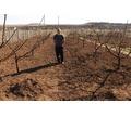 Обрезка деревьев плодовых,винограда и кустарников. - Сельхоз услуги в Симферополе