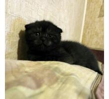 Продам шотландского малыша к лоточку приучен - Кошки в Севастополе