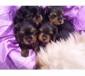 Продам  щенки йорков и чихуа срочно недорого - Собаки в Саках