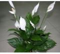 Спатифиллум -Женское счастье - Саженцы, растения в Симферополе