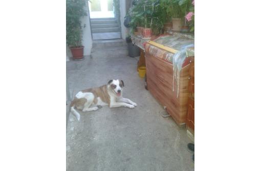 ЛАБРАДОР(пит?)-девочка ищем мальчика для1-ой вязки - Собаки в Севастополе