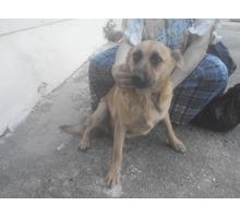 Отдаем в добрые руки добрую собачку - Отдам в добрые руки в Севастополе