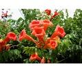 Продам многолетние цветы недорого - Саженцы, растения в Севастополе