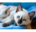 Продаются очаровательные Тайские (старосиамские) котята - Кошки в Крыму