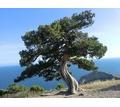 Саженцы хвойных и лиственных растений оптом из питомника - Саженцы, растения в Крыму