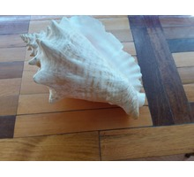 Ракушка морская - Strombus pugilis pugilis. - Дизайн интерьеров в Бахчисарае