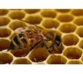 Пчеломатки Карпатка Карника Июнь 400 - Пчеловодство в Бахчисарае