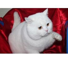 Вязка, Шотландский страйтовый кот с шикарной родословной - Вязка в Симферополе