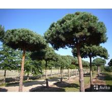 Саженцы деревьев, кустарников, цветов   оптом - Саженцы, растения в Севастополе