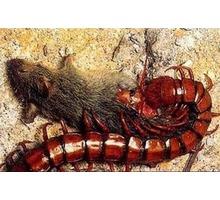 Истребление сколопендры и других насекомых, а так же грызунов! Безопасные и эффективные средства! - Клининговые услуги в Севастополе
