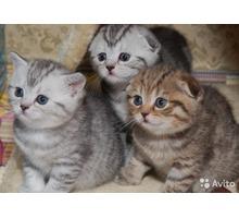 Продам шотландских котят. - Кошки в Севастополе