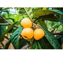 Мушмула японская Саженцы  4-х летнии - Саженцы, растения в Ялте