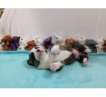 Породистые щенки вельш корги кардиган ищут своих хозяев - Собаки в Ялте