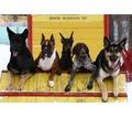 Дрессировка собак индивидуально и в группах - Дрессировка, передержка в Севастополе
