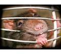 Дератизация! Истребление крыс, мышей и других грызунов с 1 раза! Безопасно! Анонимно! Жмите! - Клининговые услуги в Симферополе
