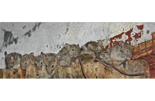 Внимание мыши! Обработка от мышей! Тотальное истребление! Дератизация! Безопасно! Анонимно!Гарантия! - Клининговые услуги в Саках