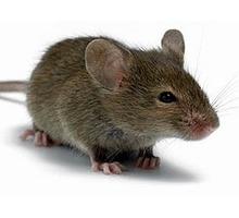 Мыши поселились по соседству? Профессиональная дератизация (уничтожение мышей)! Безопасно! Жмите! - Клининговые услуги в Армянске