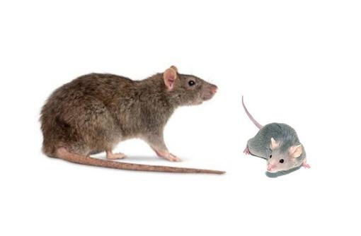 Крысы? Вас замучило такое не приятное соседство? Профессиональное уничтожение крыс! Безопасно! Жмите, фото — «Реклама Бахчисарая»