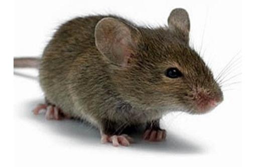 Мыши поселились по соседству? Профессиональная дератизация (уничтожение мышей)! Безопасно! Жмите! - Клининговые услуги в Белогорске