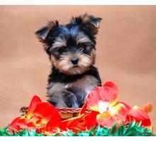 Очаровательные щенки Йорка мини и мелкий стандарт - Собаки в Симферополе