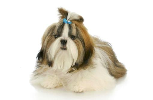 Груминг, стрижка собак и кошек, тримминг, фото — «Реклама Севастополя»