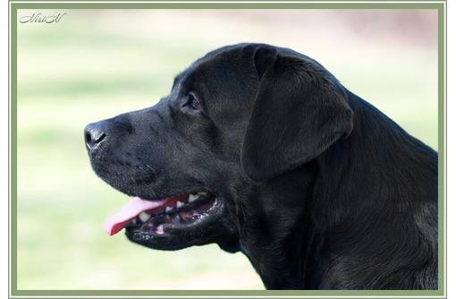 Щенок лабрадор, черный мальчик - Собаки в Севастополе