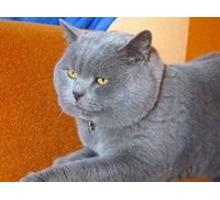 Голубой британец на вязку - Вязка в Крыму