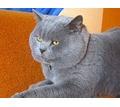 Голубой британец на вязку - Вязка в Симферополе