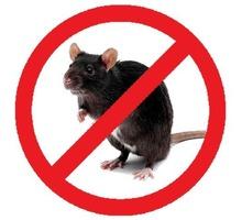 Истребление крыс и мышей! Полной уничтожение с первой обработки. Эффект мумифицирования. Гарантия. - Клининговые услуги в Севастополе