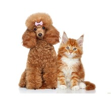 Профессиональная стрижка собак и кошек. Предвыставочная подготовка - Груминг-стрижки в Крыму