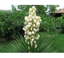 Продам кусты юкки, возможна доставка по Симферополю или передам автобусом - Саженцы, растения в Симферополе