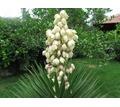 Продам кусты юкки, возможна доставка по Симферополю или передам автобусом - Саженцы, растения в Крыму
