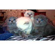 Продам шотландских вислоухих котят - Кошки в Севастополе