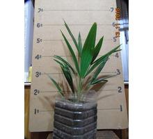 Пальмы: Хамеропс, Трахикарпус - саженцы. - Саженцы, растения в Ялте