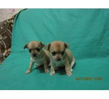 Собачки разных пород Чих мини Той мальчик мини и другие - Собаки в Симферополе