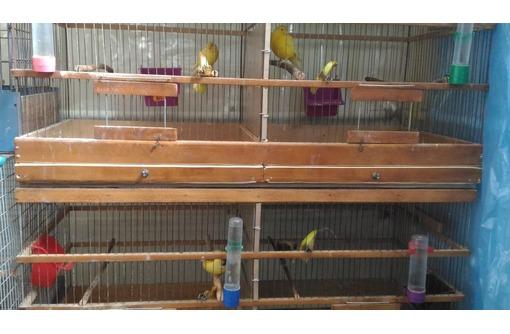 Кенары,  канарейки от разводчика - Птицы в Саках