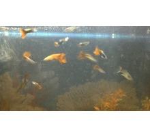 Продам аквариумных рыбок ! - Аквариумные рыбки в Севастополе