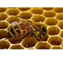 Пчеломатки Крым Карпатка Карника июнь 500р. - Пчеловодство в Симферополе