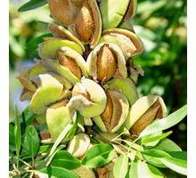 Саженцы инжира. граната, миндаля, винограда, ежевики,малины оптом. - Саженцы, растения в Симферополе