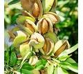 Саженцы инжира. граната, миндаля, винограда, ежевики,малины оптом. - Саженцы, растения в Крыму