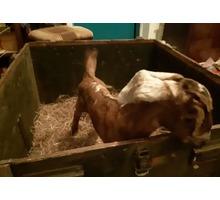Продаётся англо-нубийская козочка - Сельхоз животные в Феодосии