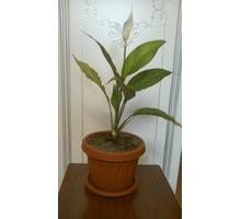 продам комнатный цветок спатифиллум - Саженцы, растения в Севастополе