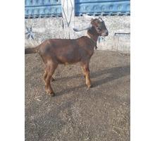 Продаются англо-нубийские козлики - Сельхоз животные в Феодосии