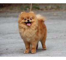 Питомник предлагает взрослых померанцев за символическую плату - Собаки в Ялте