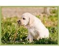 Щенки лабрадора, питомник - Собаки в Севастополе