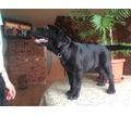 щенок лабрадора-ретривера - Собаки в Керчи