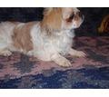 Японский Хин очаровательные щенки - Собаки в Бахчисарае