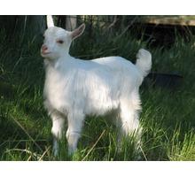 Коза зааненская белая комолая - Сельхоз животные в Ялте