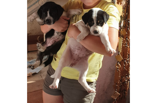 Отдам щенков, возраст 1 месяц - Собаки в Красноперекопске